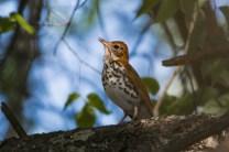 Wood Thrush. Photo by Bill Fiero.
