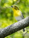 """Yellow-throated Vireo. Photo by Dave Baker. """"The Yellow-throated Vireo is a noisy, chattering species, capable of producing a very fair musical entertainment when so disposed."""" —EA Mearns"""