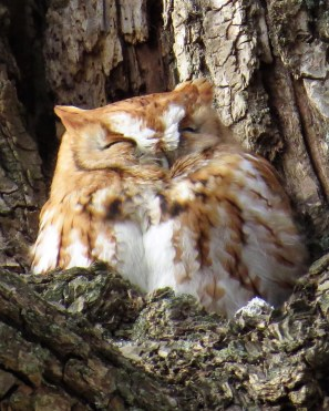 Eastern Screech Owl. Photo by Maryangela Buskey.