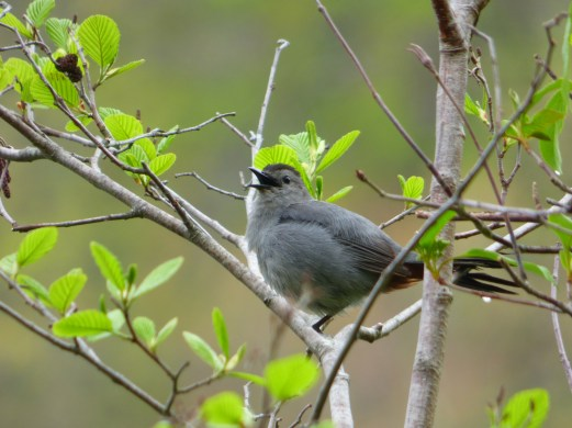 Gray Catbird. Photo by Teresa Loomis.