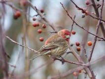 House Finch. Photo by Teresa Loomis.