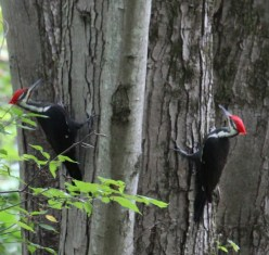 Pileated Woodpeckers. Photo by Karen Miller.