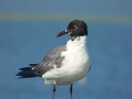 Laughing Gull. Photo by Teresa Loomis.