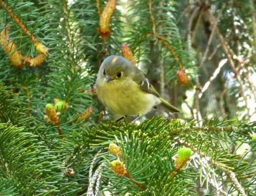 Ruby-crowned Kinglet. Photo by Teresa Loomis.
