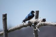 Tree Swallow. Photo by Joyce Depew.
