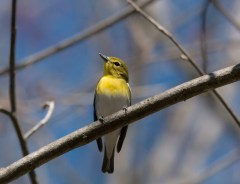 Yellow-throated Vireo. Photo by Bill Fiero.