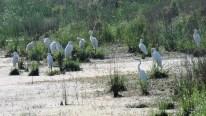 Great Egrets. Photo by Maryangela Buskey