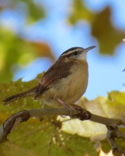 Carolina Wren. Maryangela Buskey.