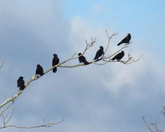 American Crows. Maryangela Buskey.