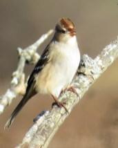 White-crowned Sparrow (juvenile). Maryangela Buskey.