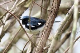 Black-throated Blue Warbler. Photo by Maryangela Buskey.