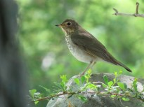 """Swainson's Thrush. Photo by Kathleen Ashman. """"In spring, they are very abundant in the woods and orchards, uttering a note that sounds like the bursting of an air bubble on rising to the surface of a fluid."""" —EA Mearns"""