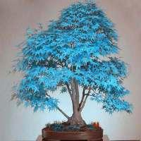 Semillas de bonsai de arce azul