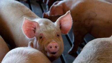 Photo of Поголів'я свиней у ЄС продовжує скорочуватися