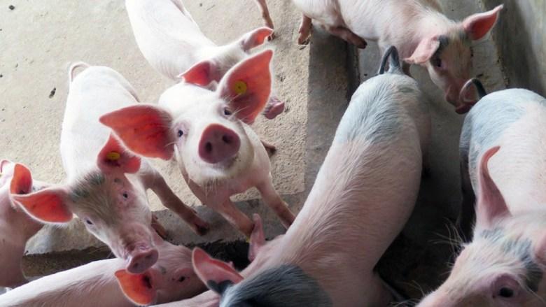 Поголів'я свиноматок в Катаї зроло з початку 2021 року