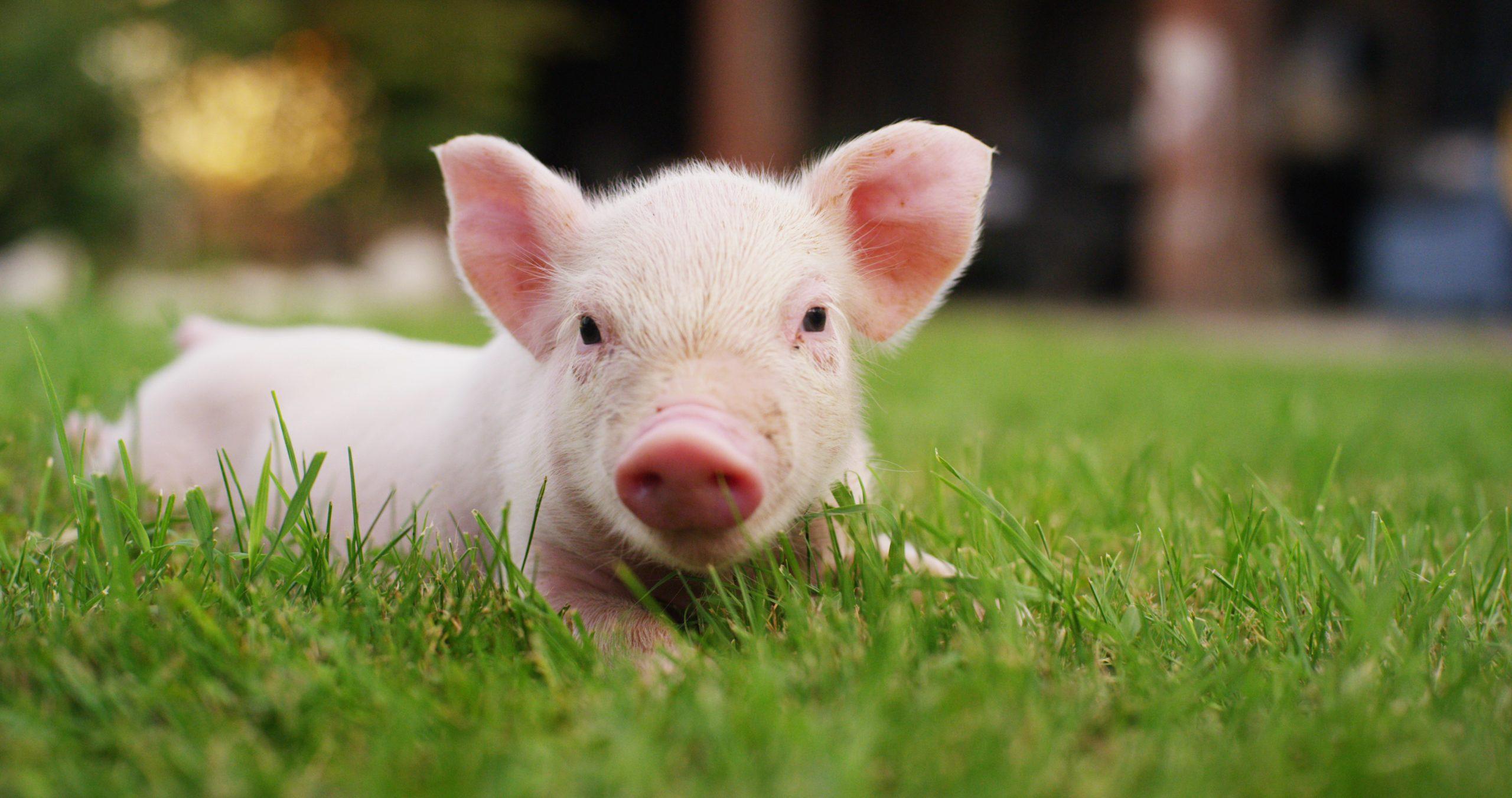 Оприлюднено закупівельні ціни на живих свиней на 22 – 28 березня