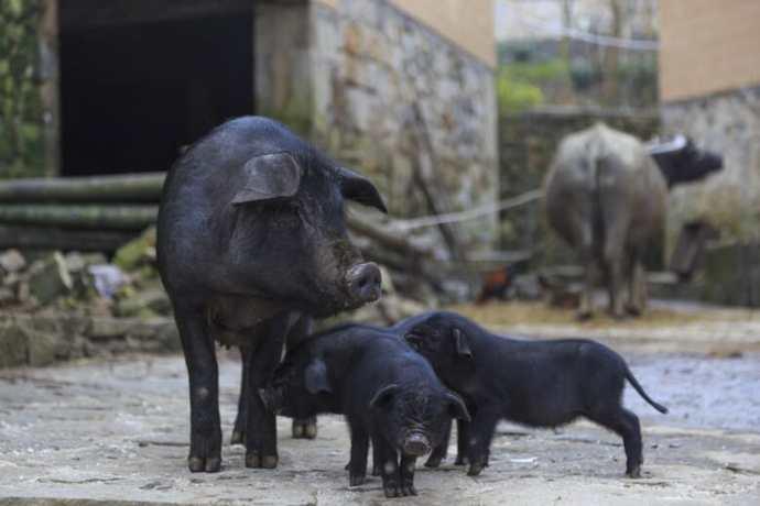 Сенат Філіппін ухвалив резолюцію Президенту щодо імпорту свинини