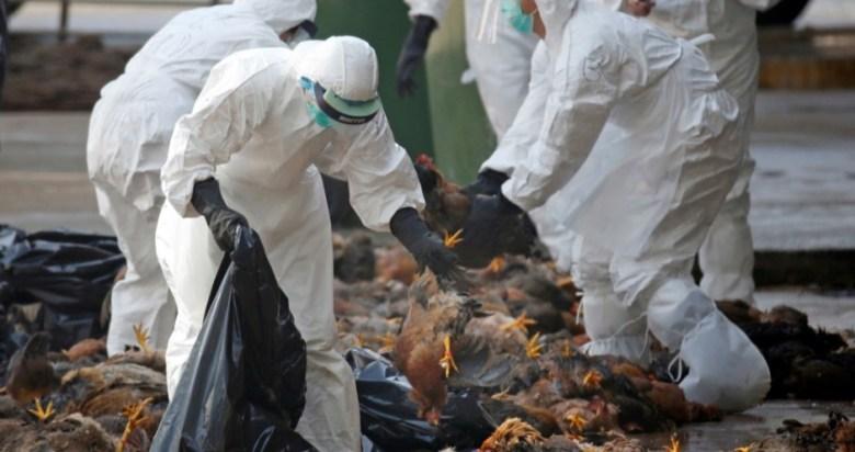 Найбільший спалах пташиного грипу: Польща винищує 6 млн птахів