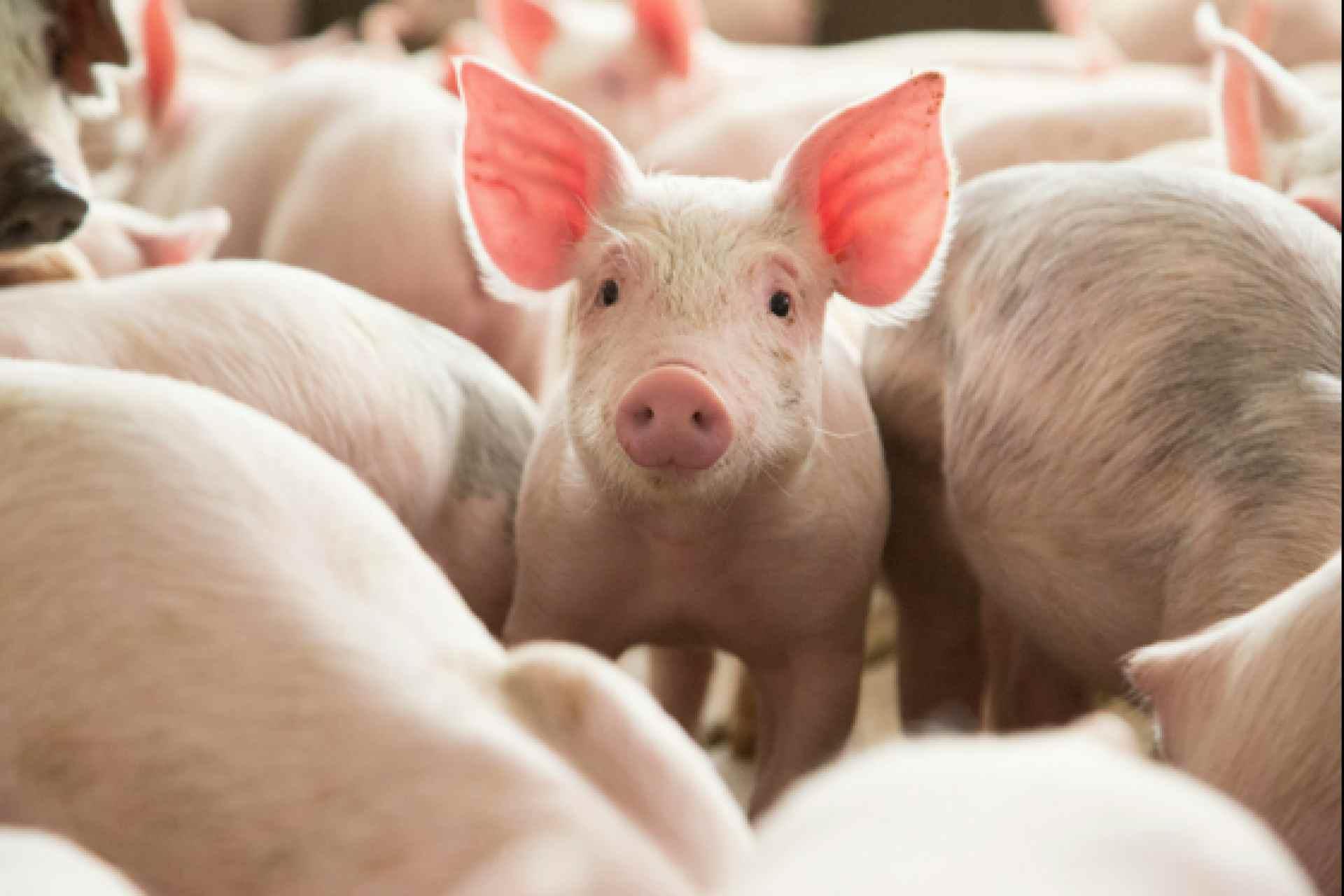 Оприлюднено закупівельні ціни на живих свиней на 24 – 30 травня