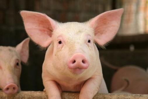 Ціни на свиней хитають виробництво в Китаї