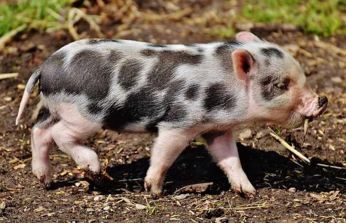 Оприлюднено закупівельні ціни на живих свиней на 26 липня – 01 серпня 2021 року