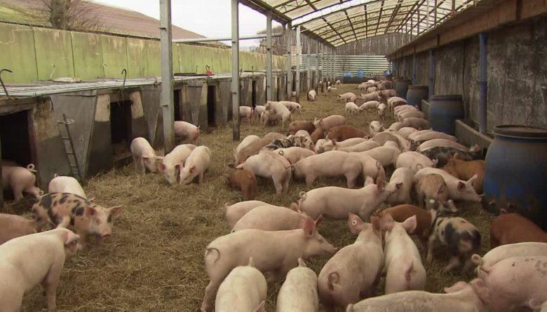 Виклики для галузі свинарства в Мексиці