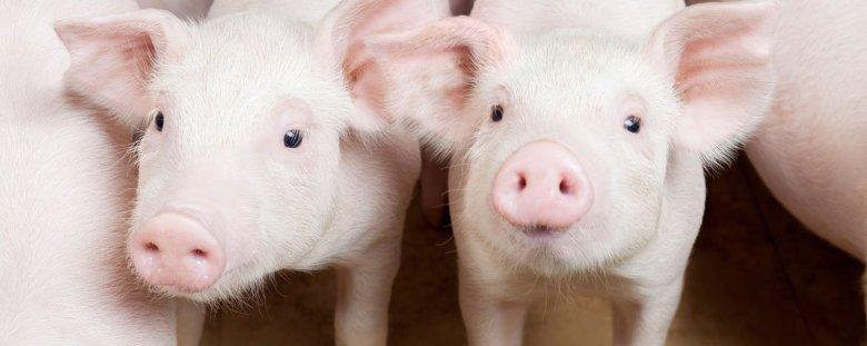 Оприлюднено закупівельні ціни на живих свиней на 9 – 15 серпня 2021 року