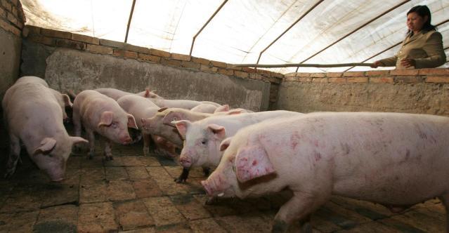 В Китаї покращується біобезпека у вирощуванні свиней