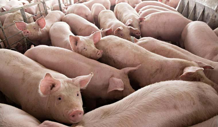 Китай збереже обсяг поголів'я свиней до 2025 року