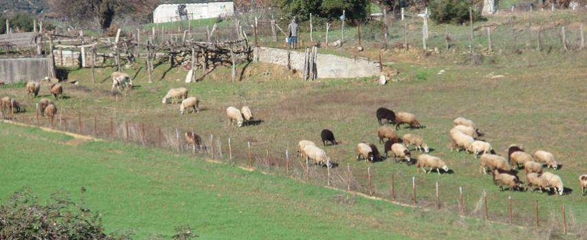 Μειώνεται περαιτέρω το ζωικό κεφάλαιο στην Ελλάδα, λέει η ΕΛ.ΣΤΑΤ. |  MeatNews.gr