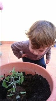 Plantando la tomatera