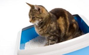 Почему у кошки понос: причины и лечение. Понос у кота непонятного цвета: причины, продолжительность и лечение Кот постоянно поносит