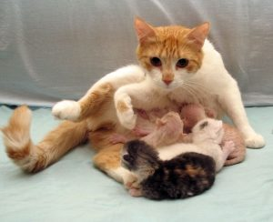 Схватки у кошки: признаки, продолжительность и общие сведения. Как кошки рожают котят