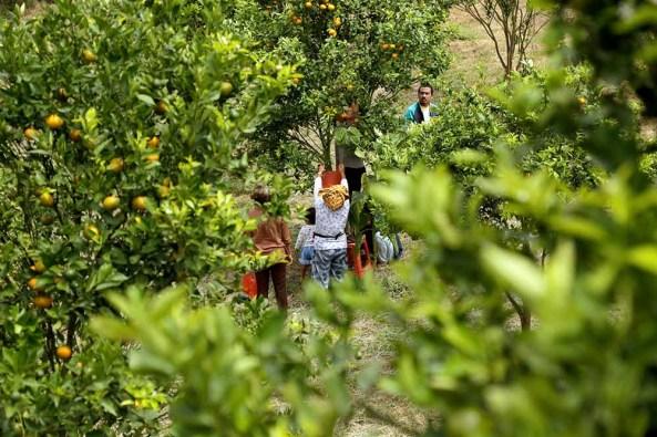 Wisatawan lokal membeli buah jeruk dengan cara petik sendiri langsung di kebun, di kawasan Merek,Kabupaten Karo, kemarin. Harga buah jeruk dari hasil pilih dan petik sendiri langsung dari kebun tersebut seharga Rp.25.ooo/kg. Aktivitas petik sendiri tersebut  menjadi pilihan alternatif liburan keluarga di alam terbuka yang disuguhkan di daerah wisata Kabupaten Karo. MTD/Dadang Butar Butar