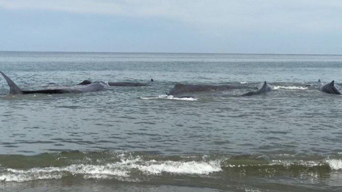 Ikan paus terdampar di Pantai Ujong Kareng, Kecamatan Mesjid Raya, Aceh Besar, Senin 913/11/2017). (SERAMBINEWS.COM/M ANSHAR)