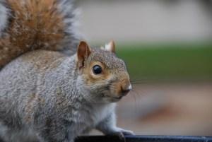 squirrel-777586_1280
