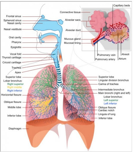 Anatomy and physiology of lungs medcaretips anatomy and physiology of lung ccuart Choice Image