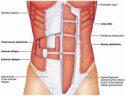 Muscles Of Abdominal Wall Medcaretips