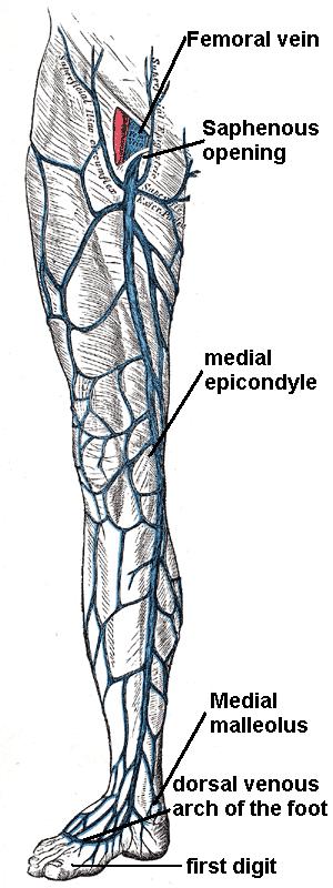 great saphenous vein course