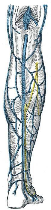 Small saphenous vein