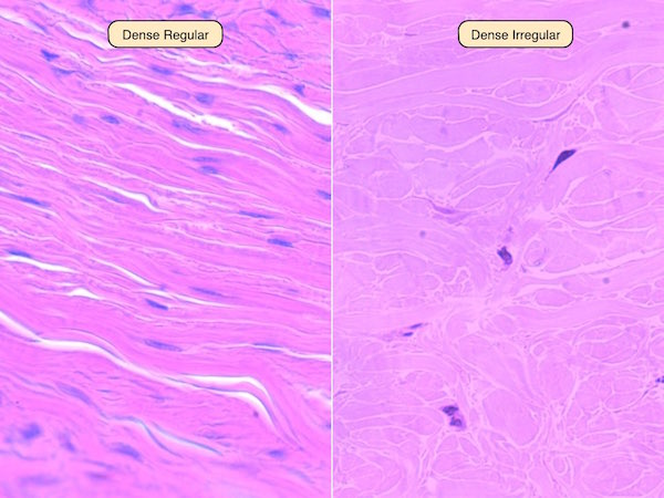 Labeled Cartilage Tissue Fibers Connective Hyaline