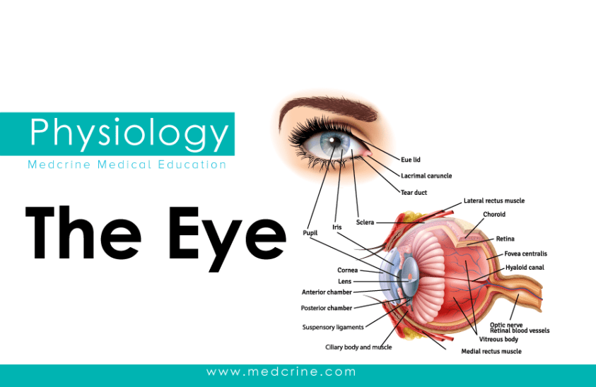 Anatomy of The Eye and Vision Physiology | Medcrine