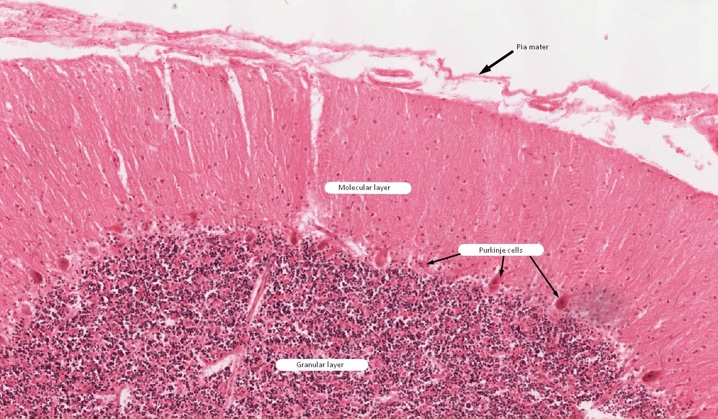 Neurohistology Cerebellum