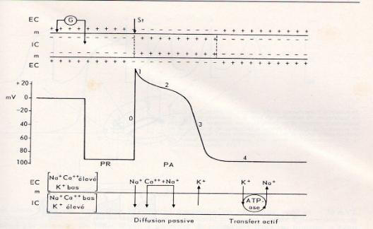 Cycle  d'excitabilité d'une cellule cardiaque et les périodes réfractaires