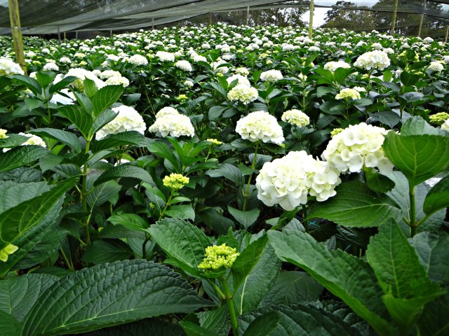Hydrangea crop ready for harvest.