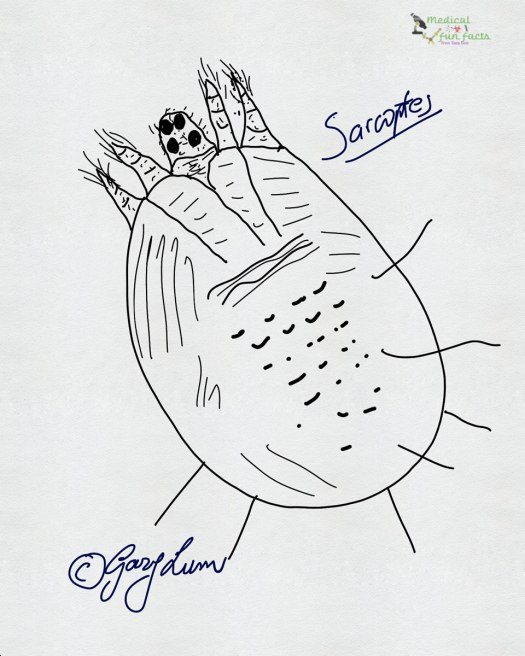 Scabies mite drawn by Gary Lum