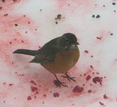 From Annclaire G. - I was feeling sorry for the Robins with all the berries gone down here in the flats. I raided the freezer. They love the raspberries, even though it makes them look like carrion. Dried currents are not as exciting. They sent out the message because suddenly there were over a dozen in our yard.