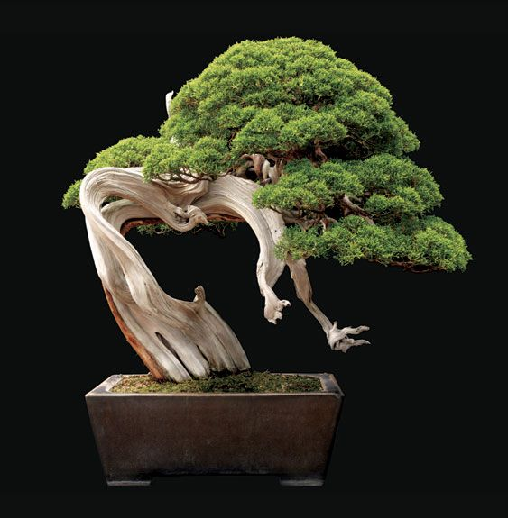 250-year-old Sargent juniper from Saitama City, Japan. The plant stands 28 inches tall. Courtesy of Jonathan Singer.