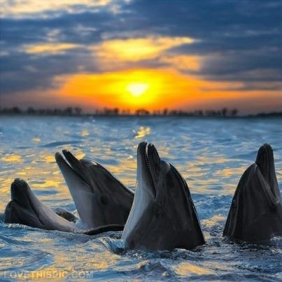 Dolphins Enjoying the Sunset photography group ocean happy sea dolphin