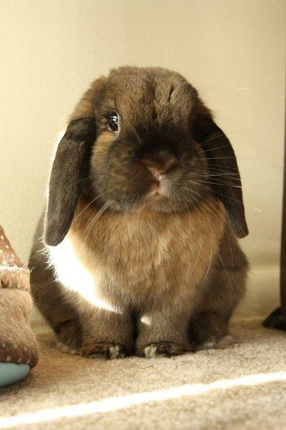 Adorable Lop-Eared Bunny.... Do your ears hang low do they wobble to and fro can you tie them in a knot can you tie them in a bow can you throw them over your shoulder like a continental soldier do your ears hang low? ;)